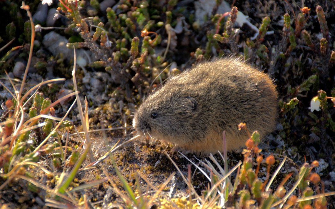 Lemmings in a Changing Arctic